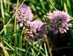 Alliacea Allium Schoenoprasum 2 (Ciboulette)