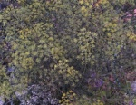Apiaceae Foeniculum Dulce (Fleurs)