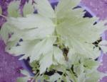 Apiaceae Levisticum Officinale 2