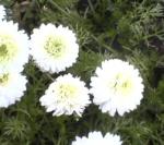 Asteraceae Chamaemelum Nobile (Fleur 1)