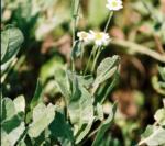 Asteraceae Chrysanthemum Balsamita