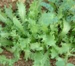 Asteraceae Cichorium Endiva Var.crispum