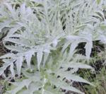 Asteraceae Cynara Cardunculus 3