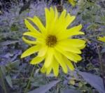 Asteraceae Helianthus Tuberosus (Fleur)