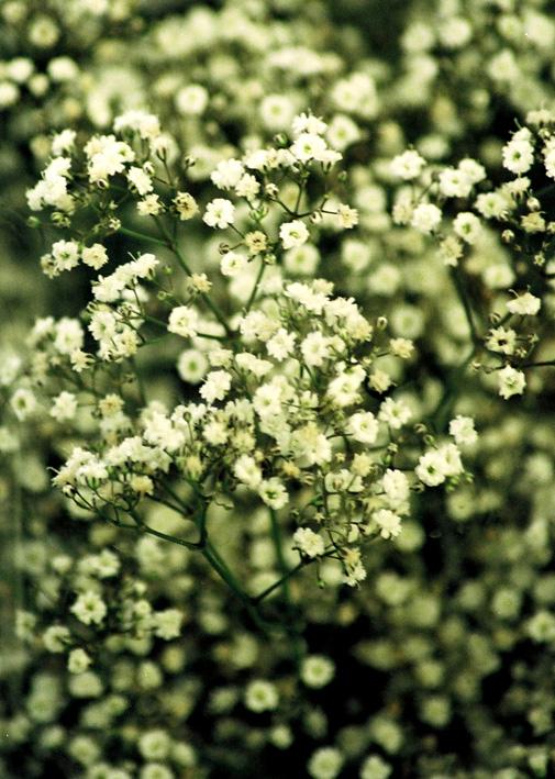 Gypsophila Elegans Caryophyllacees