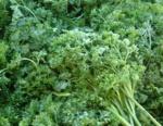 Petroselinum Sativum 5 Apiaceae