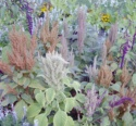 Amaranthaceae Amaranthus Caudatus