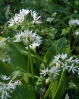 Allium-Ursinum-Alliacees