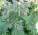 Boraginaceae Borago Officinalis