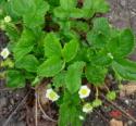 Fragaria X Ananassa Rosaceae