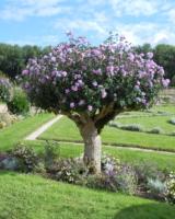 Hibiscus-Syriacus-Malvacees