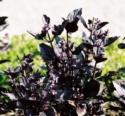 Lamiaceae Ocimum Basilicum 'purpurescens' 2