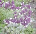 Lamiaceae Origanum Vulgare