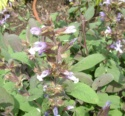 Lamiaceae Salvia Officinalis