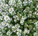 Lamiaceae Thymus Vulgaris 5