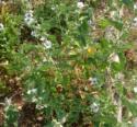 Malvaceae Althaea Officinalis