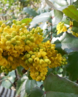 Mahonia-Aquifolium-Berberidacees