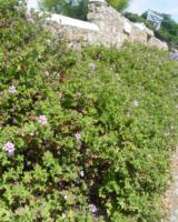 Massif-De-Pelargonium-Capitatum-Ile-De-Brehat