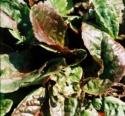 Polygonaceae Rumex Arifolius 'ruber'(Oseille Pourpre)