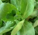 Valerianaceae Valerianella Locusta 2