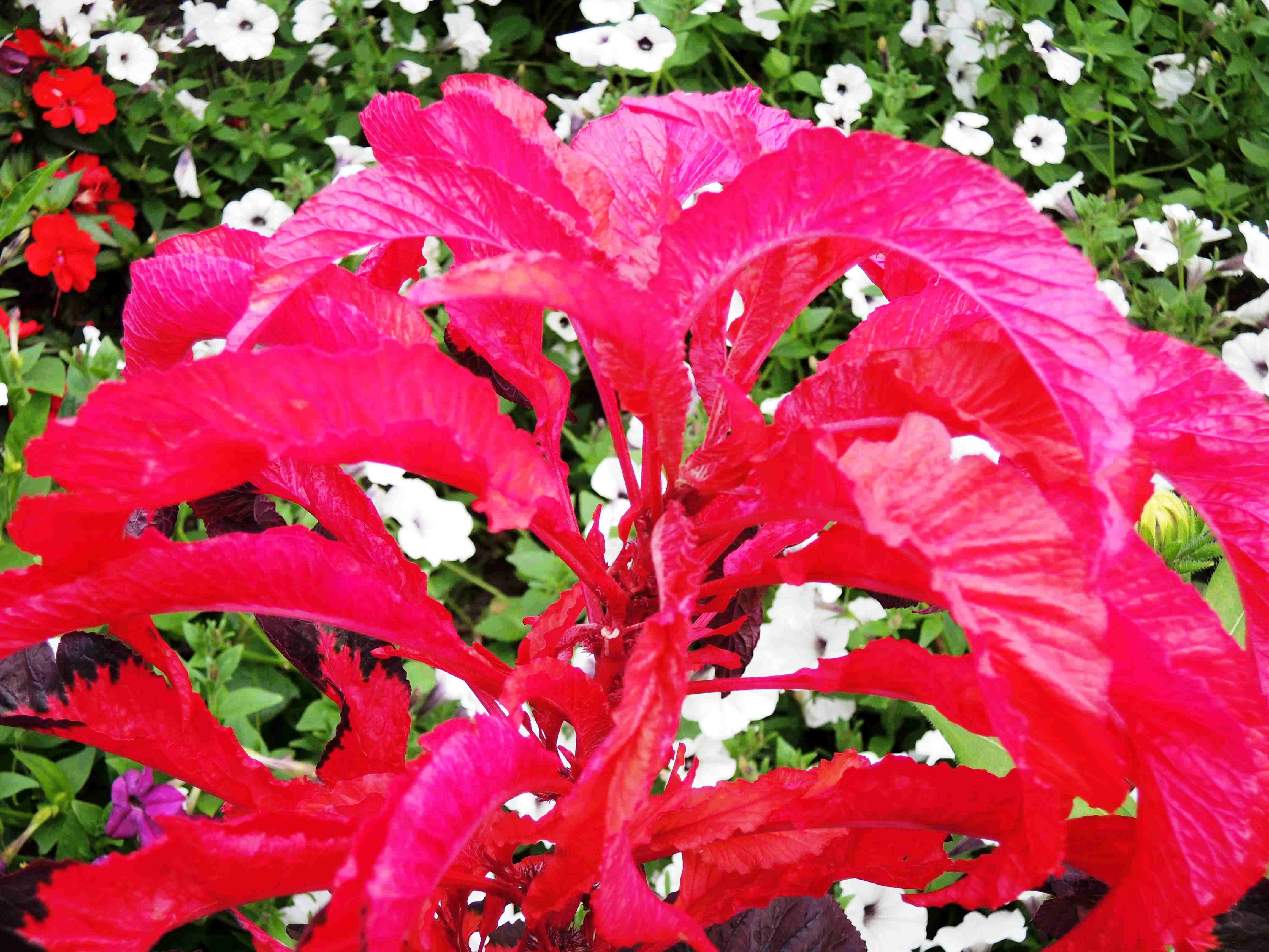 Amaranthus-Tricolor-Early-Splendor2Amaranthacees