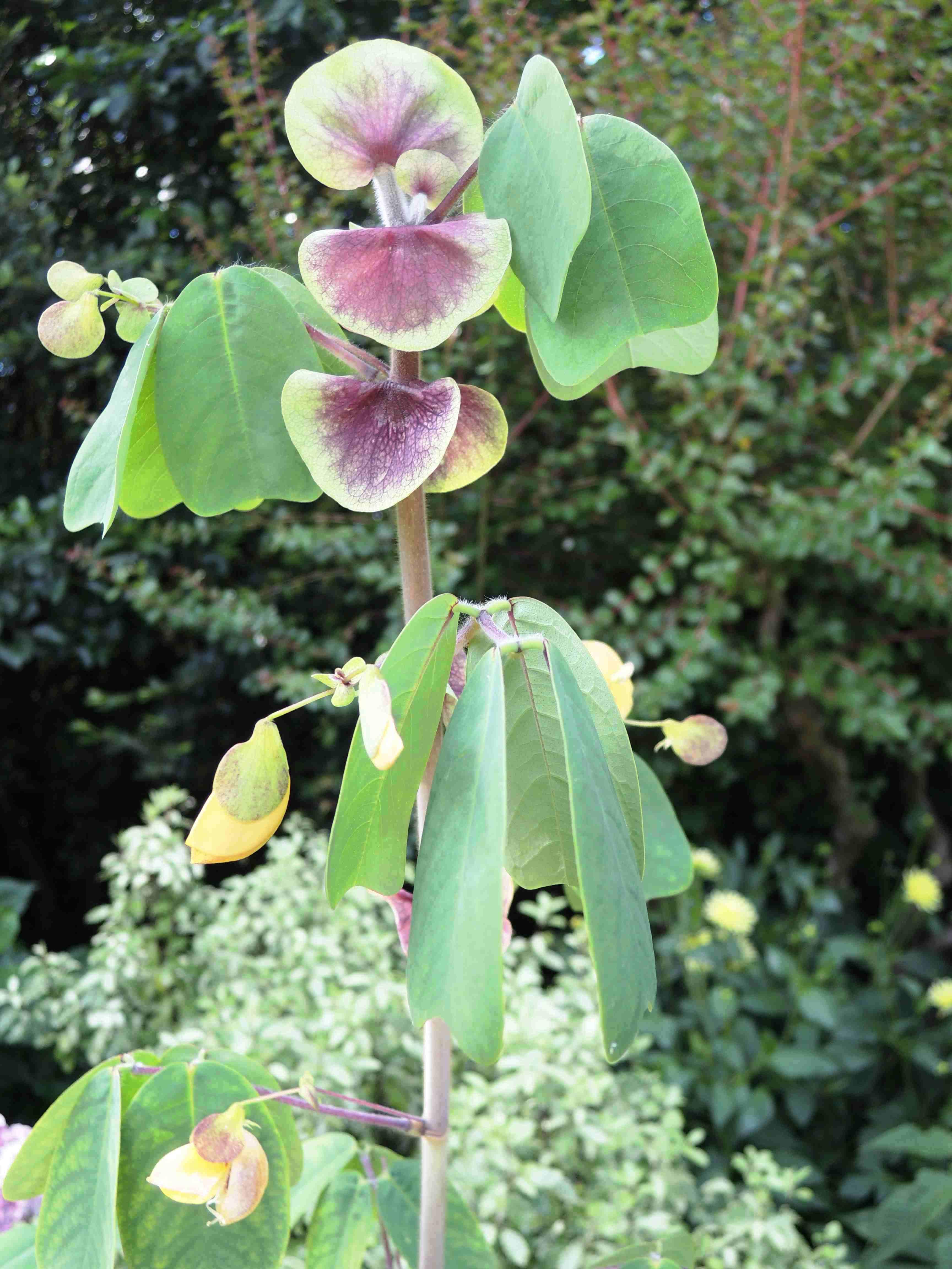 Arachis-Hypogaea-Fabacees