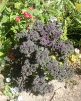 Brassica-Oleracea-Var-Redbor-Brassicacees