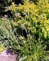 Eryngium-Agavifolium-2-Asteracees