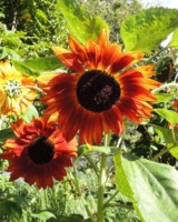 Helianthus-Annuus-Sun-Gold-Asteracees
