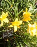 Hemerocallis-X-Harry-Barras-Hemerocallidacees-Jp