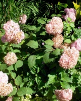 Hydrangea-Arborescence-Invincibelle-Hydrangeacees