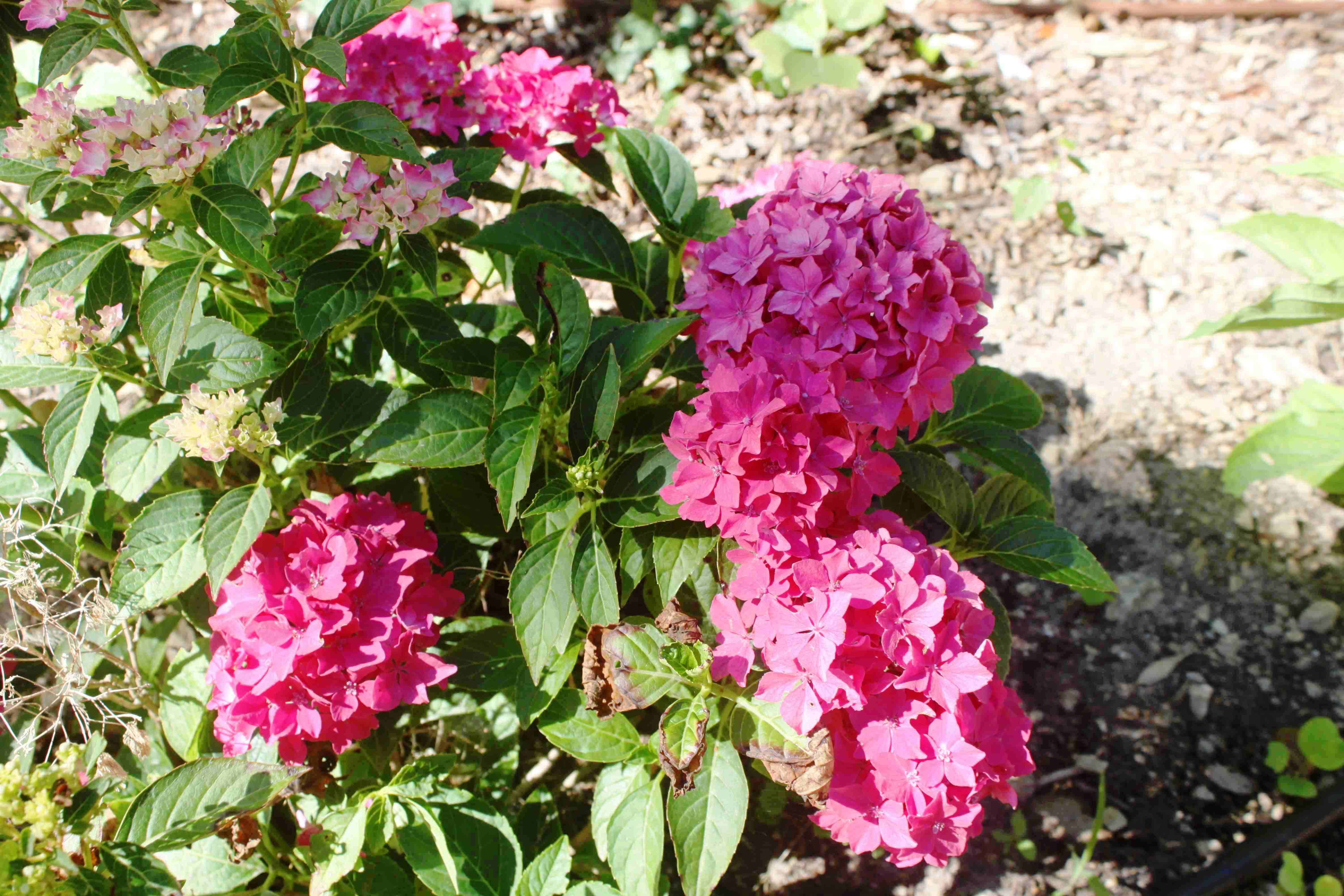 Hydrangea-Macrophylla-2-Hydrangeacees