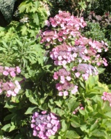 Hydrangea-Macrophylla-Hydrangeacees
