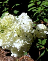 Hydrangea-Paniculata-Hydrangeacees
