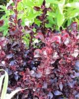 Iresine-Herbstii-Wallisii-Amaranthacees-Copie