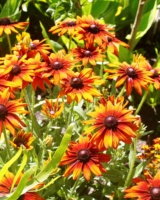 Rudbeckia-Hirta-Autumn-Colors-2Asteracees
