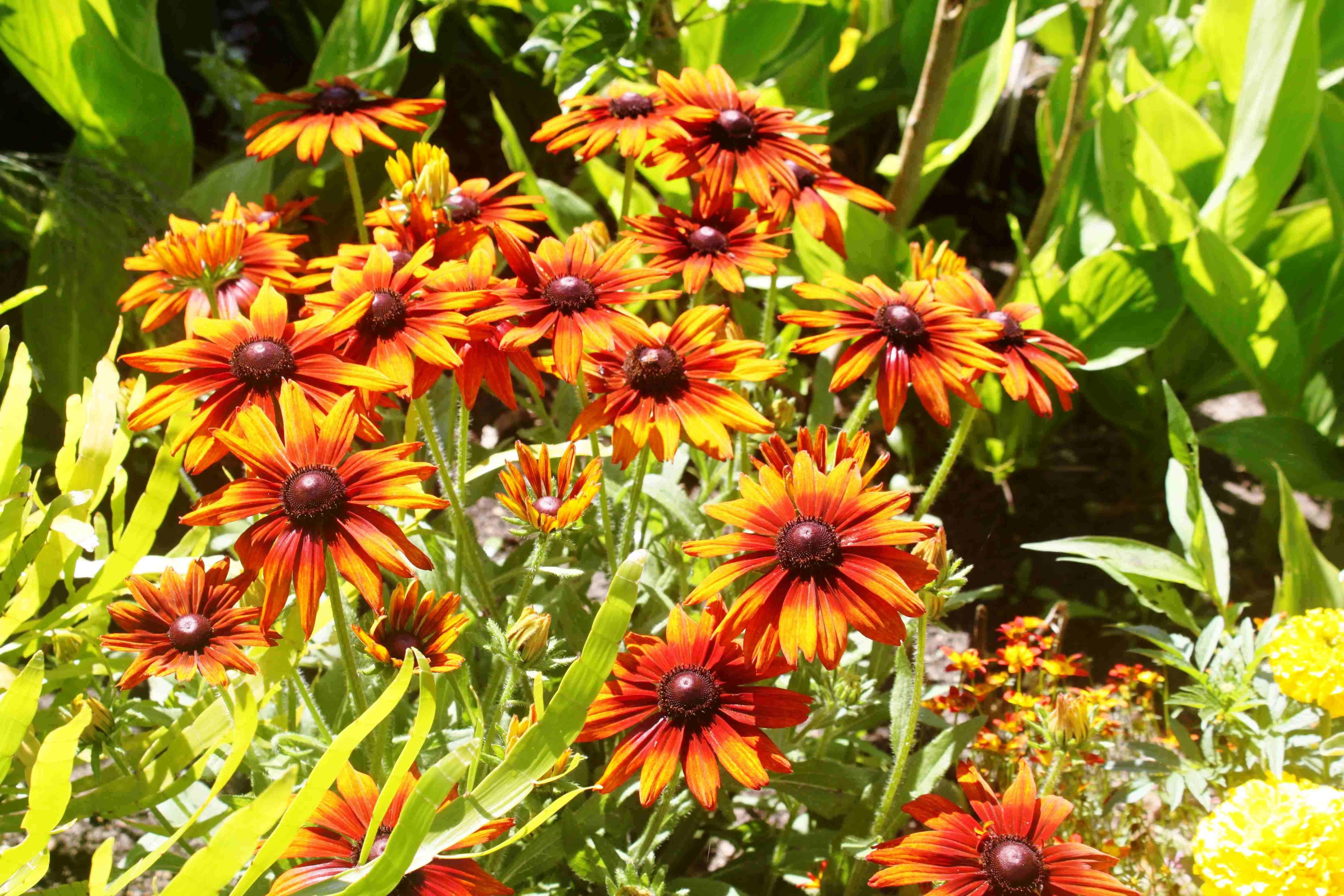 Rudbeckia-Hirta-Autumn-Colors-2Asteracees