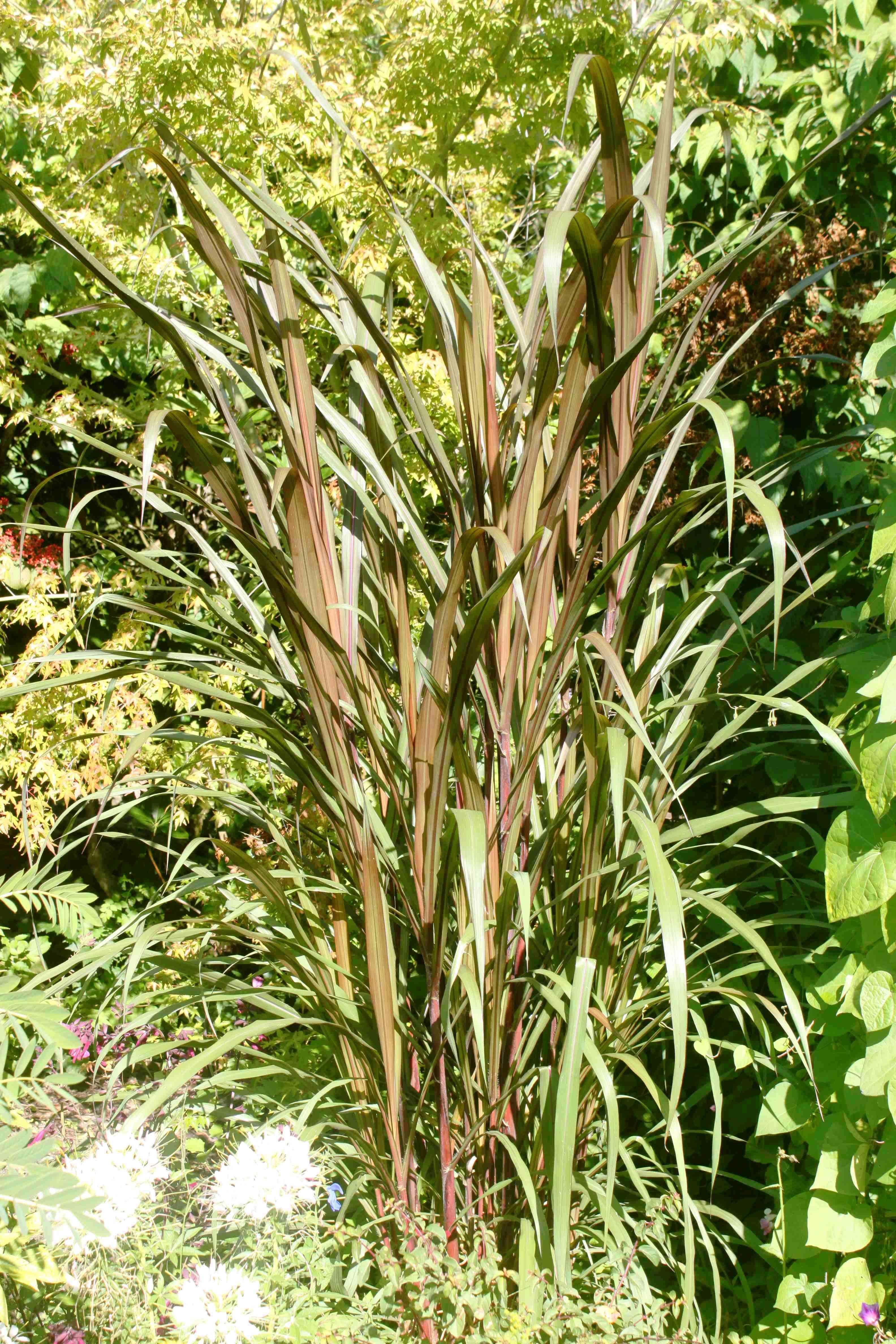 Saccharum-Officinarum-Purpureum-Poacees