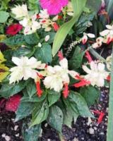 Salvia-Splendens-Bicolor-Sage-Lamiacees
