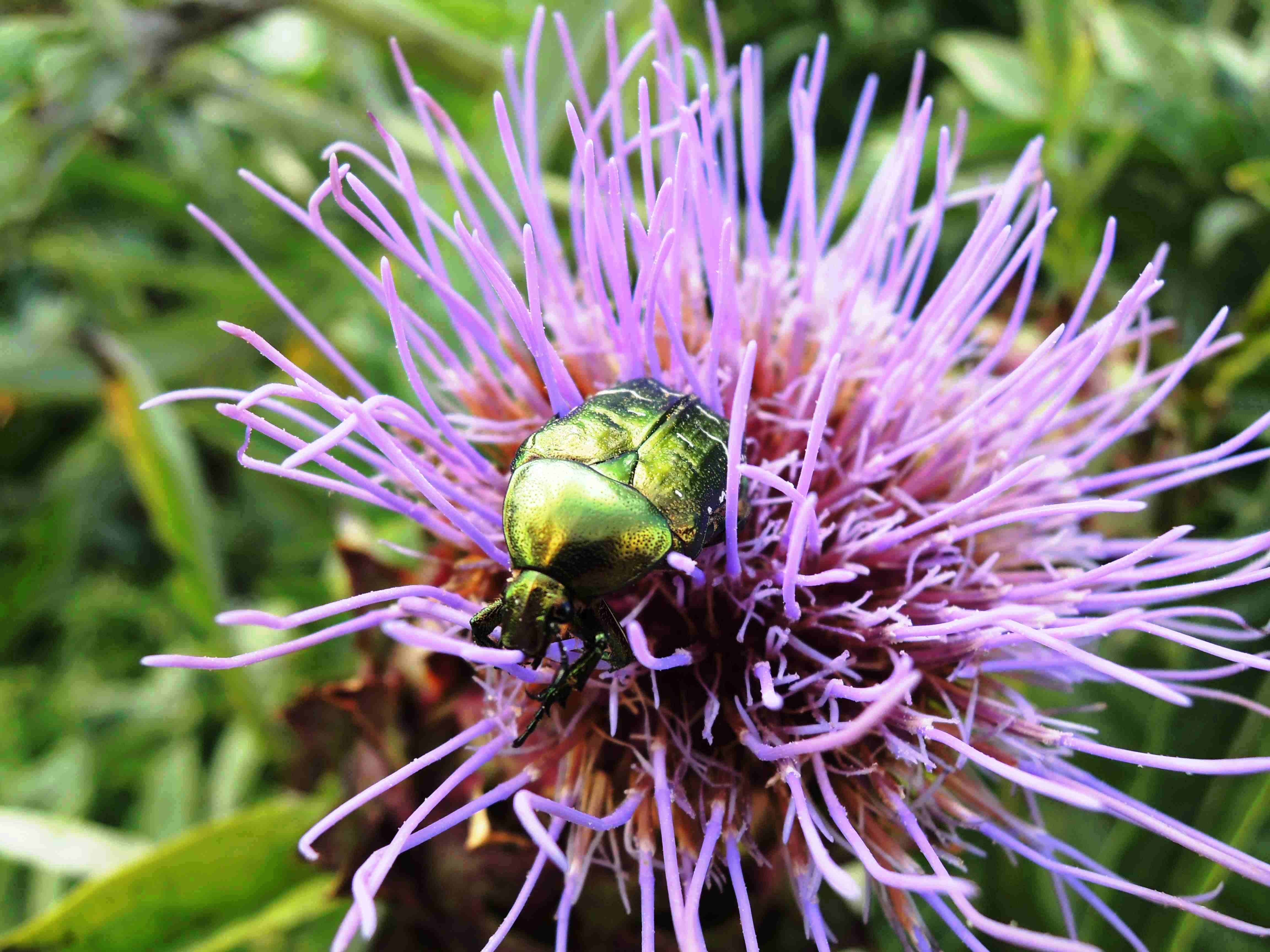 Scolymus-Cardunculus-Asteracees