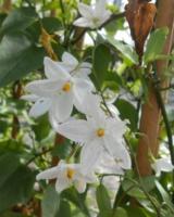 Solanum Jasminoides Solanacees