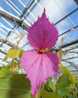 Dalechampia Spathulata Euphorbiacees