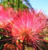 Albizia Julibrissin 'ombrella' Mimosacées2