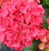Hydrangea 'rom Riedel' 2 Hydrangeaceae