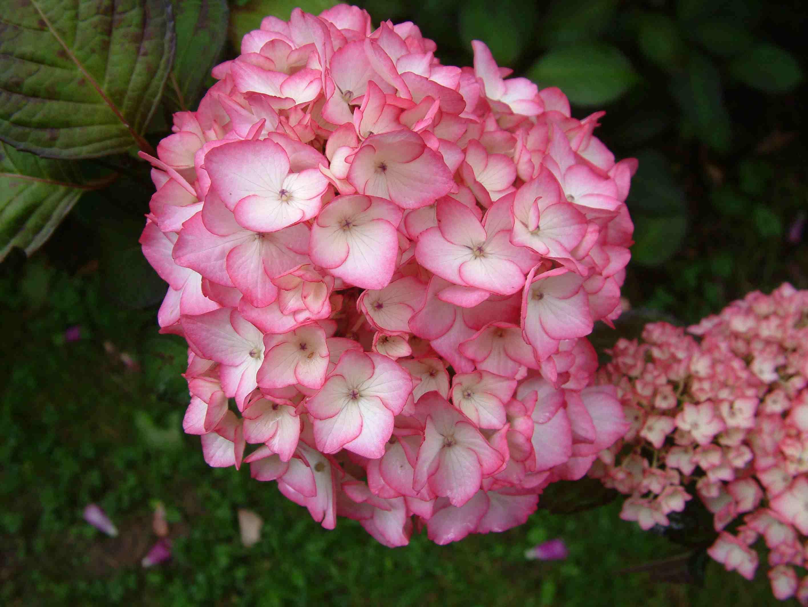 Hydrangea Macrophylla 'sabrina' 2 Hydrangeaceae