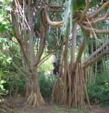 Pandanacéespandanusutilis4(Réunion)