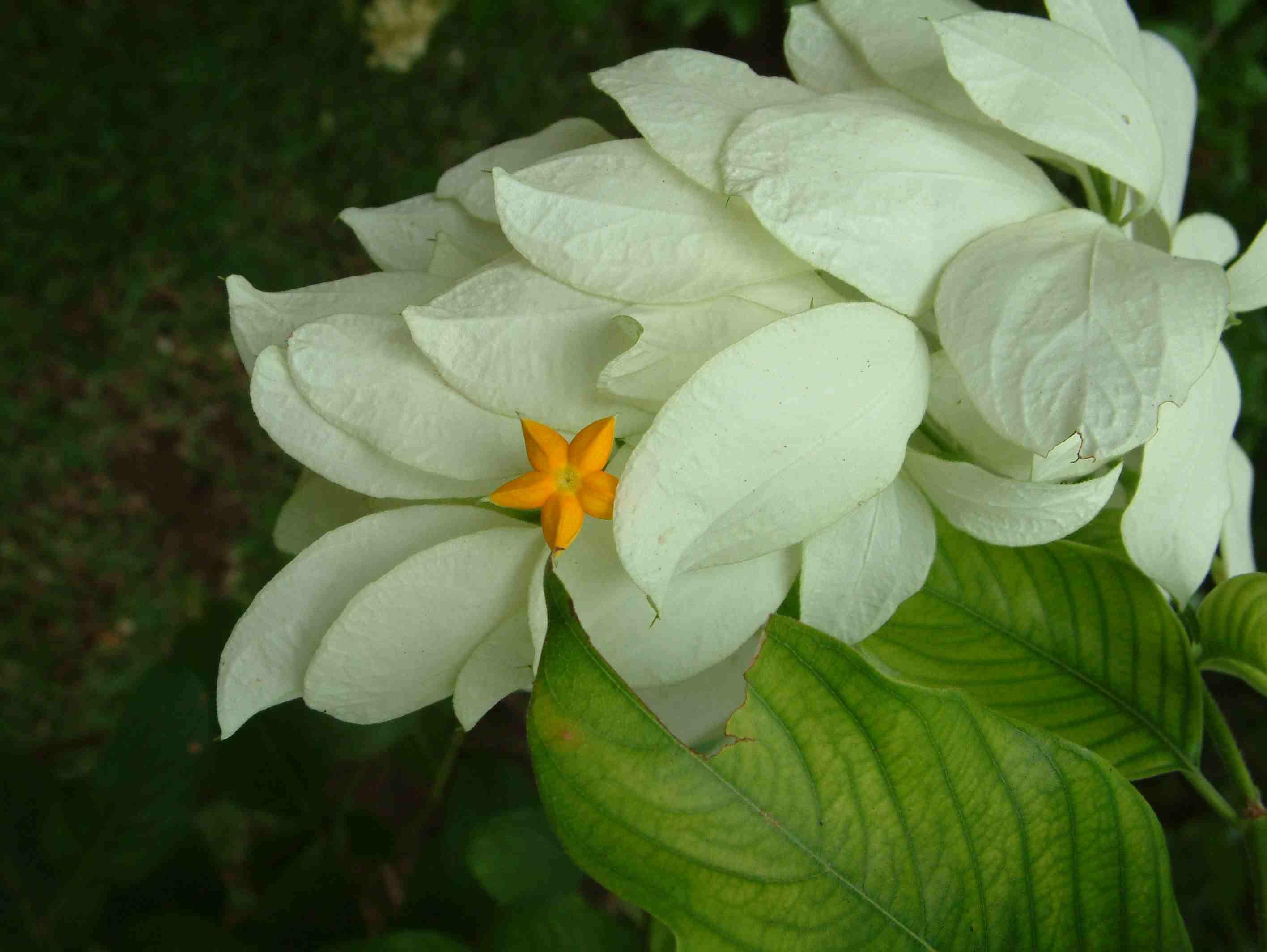 Rubiacéesmussaendaphilippica3(Réunion)
