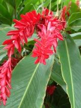 Zingibéraceesalpiniapurpurea2(Réunion)