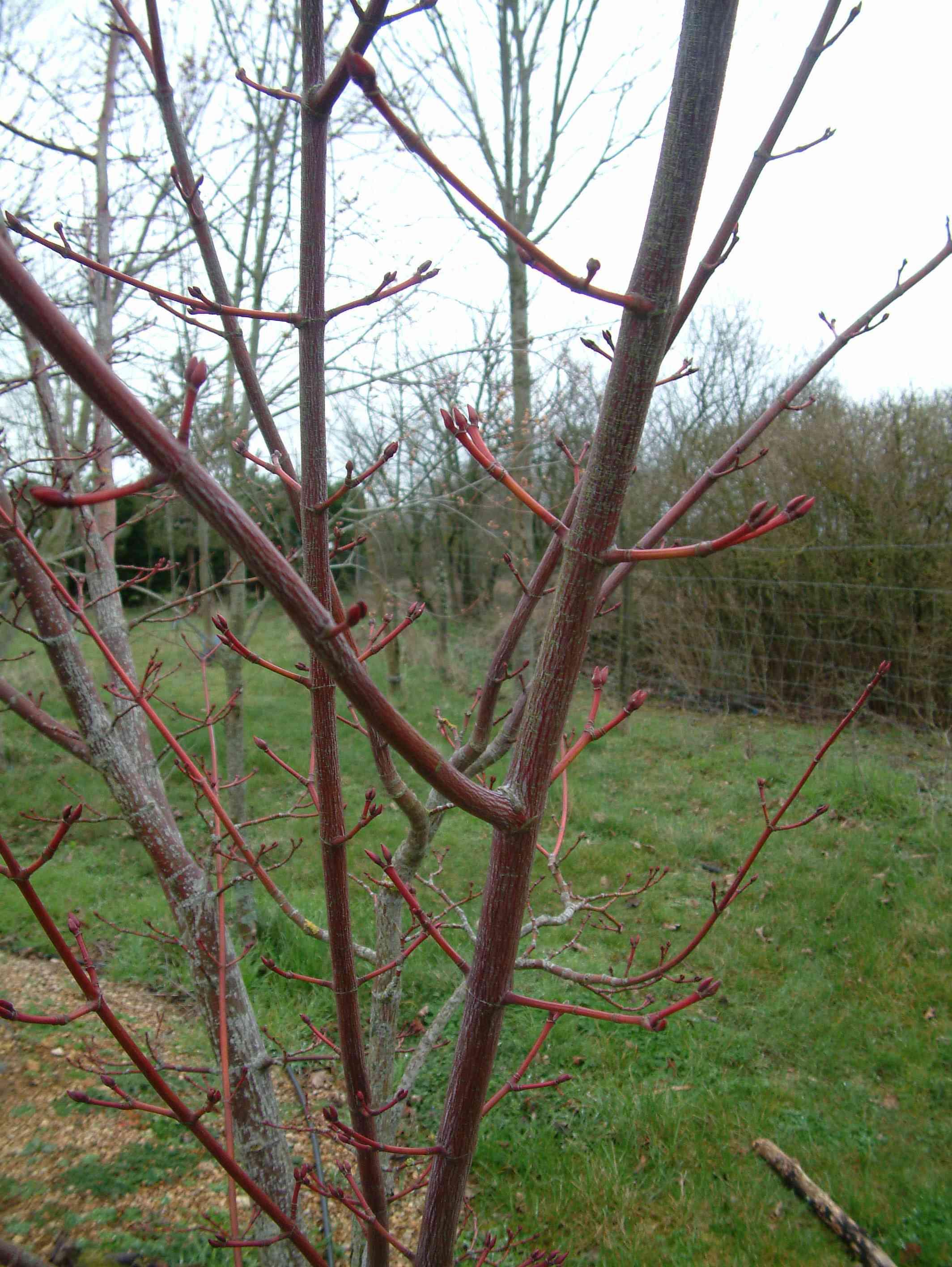 Acer X Conspicuum 'silver Vein' (Sujet) Aceraceae