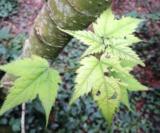 Acer Acuminatumfeuilles Acéracées